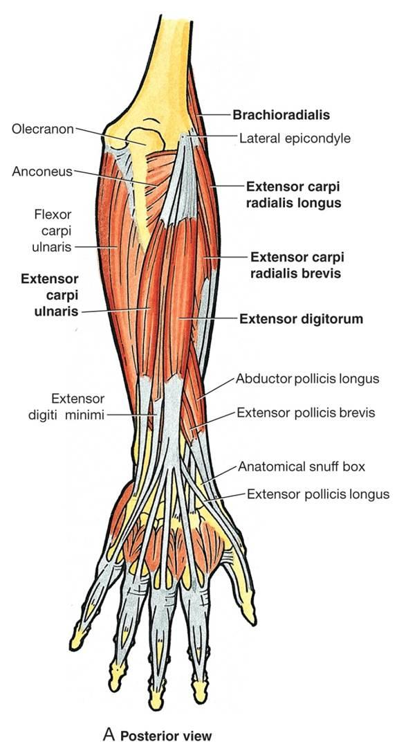 Extensor Muscle Group 10